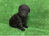 スタンダード・プードル 2021年04月14日生まれ ブラック 女の子
