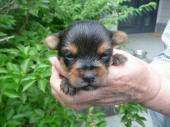 ヨークシャー・テリア 2020年06月01日生まれ スチールブルー&タン 女の子