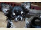チワワ(ロングコート) 2015年06月10日生まれ ブラック・タン&ホワイト 女の子