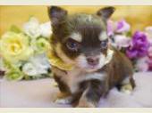 チワワ(ロングコート) 2017年12月30日生まれ チョコレート&タン 男の子