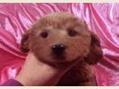 トイプードル 2020年01月18日生まれ レッド 女の子