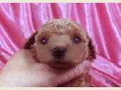 トイプードル 2020年04月07日生まれ アプリコット 男の子