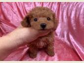 トイプードル 2020年08月31日生まれ レッド 女の子