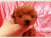 トイプードル 2020年11月19日生まれ レッド 男の子