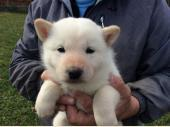 北海道犬 2017年10月01日生まれ 白 女の子