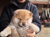 柴犬 2017年12月13日生まれ 赤 男の子
