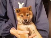 柴犬 2020年10月05日生まれ 赤 女の子