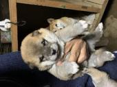 柴犬 2020年09月26日生まれ 赤 女の子