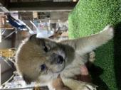 柴犬 2021年01月31日生まれ 赤 女の子