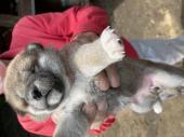 柴犬 2021年05月24日生まれ 赤 女の子
