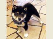 柴犬(小型・豆柴) 2017年01月20日生まれ 黒 男の子