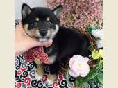柴犬(小型・豆柴) 2017年05月21日生まれ 黒 女の子