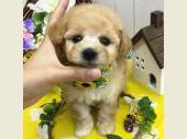ビション・フリーゼ 2017年07月05日生まれ クリーム 男の子
