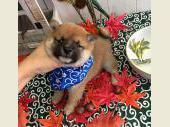 柴犬(小型・豆柴) 2017年09月12日生まれ 赤 男の子