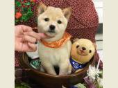 柴犬(小型・豆柴) 2017年09月07日生まれ 白(淡赤) 女の子