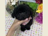 トイプードル 2021年08月21日生まれ ブラック 女の子