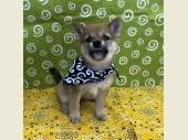 柴犬(小型・豆柴) 2021年08月22日生まれ 赤 男の子