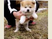 秋田犬 2016年10月01日生まれ 赤 男の子
