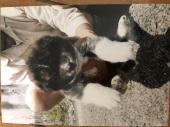 秋田犬 2020年04月24日生まれ 虎 女の子
