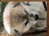 秋田犬 2020年04月24日生まれ 赤 男の子