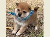 柴犬(小型・豆柴) 2019年11月25日生まれ 赤 男の子