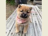 柴犬(小型・豆柴) 2019年11月25日生まれ 赤 女の子