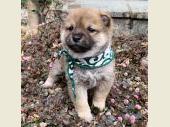 柴犬(小型・豆柴) 2019年12月10日生まれ 赤 男の子