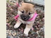 柴犬(小型・豆柴) 2019年12月10日生まれ 赤 女の子