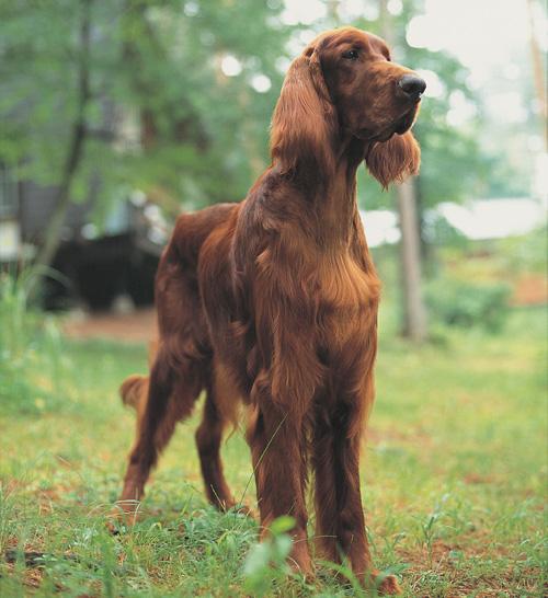 セッター 犬 - Bing