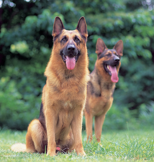 Image result for German Shepherd 子犬